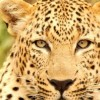 Profile photo of the leopard